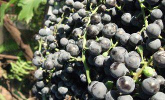 как заготовить виноградный сок на зиму - рецепт с фото