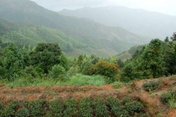 история происхождения чая улун