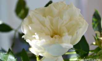 Вьющаяся роза вянет
