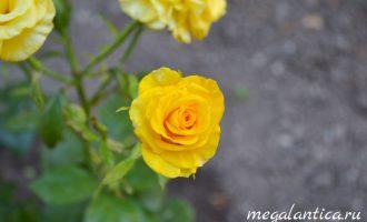 как укоренить черенки роз