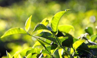 Выращивание чайных кустов