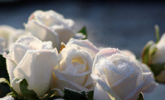 Как подготовить садовые розы к зиме