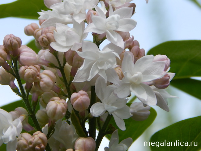 Syringa vulgaris Krasavitsa Mosvy