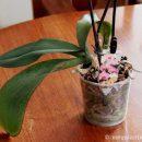 Как удалить засохший лист у орхидеи