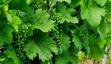 О весеннем уходе за виноградом